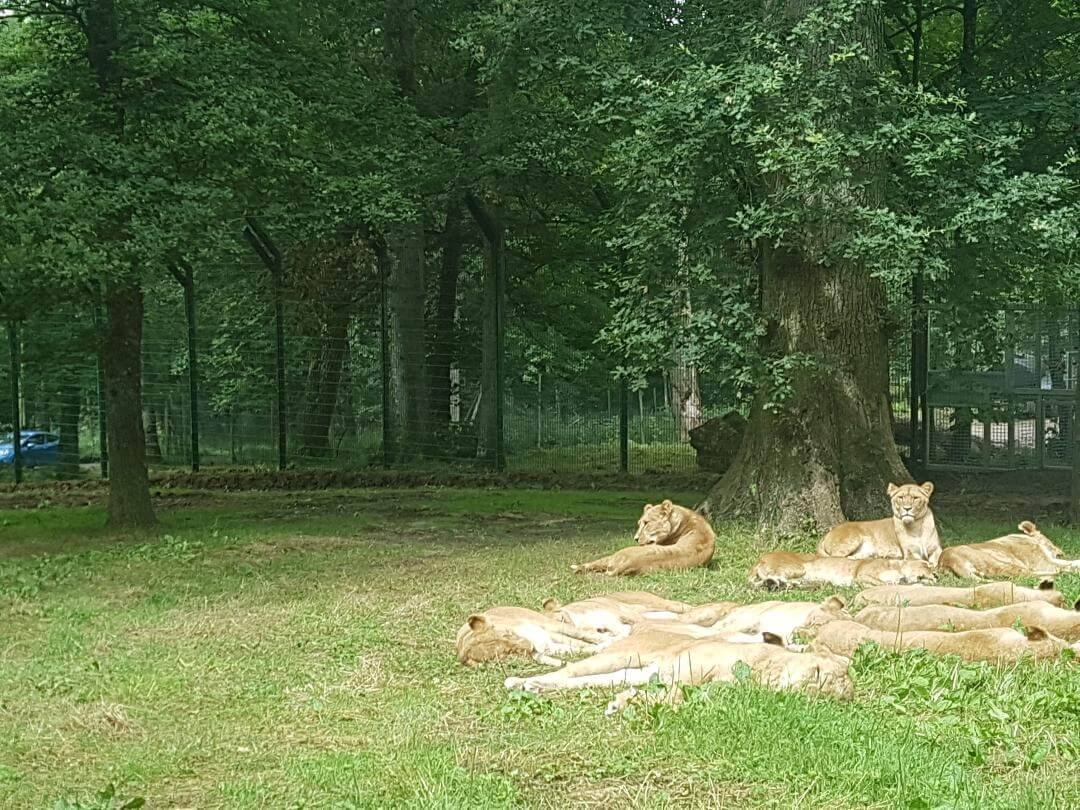 Longleat pride at big cat homes